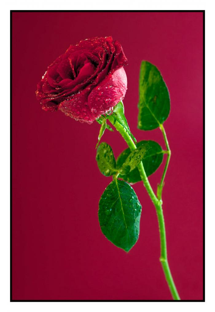Water Mist Red Rose on a Burgundy Background