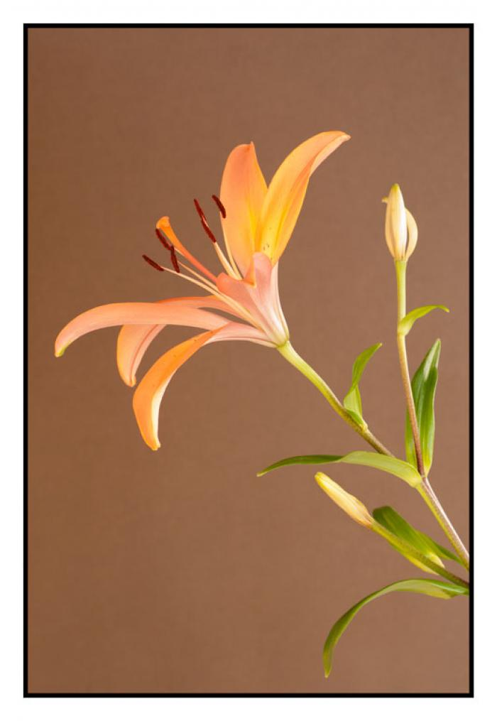 Lily on a brown background