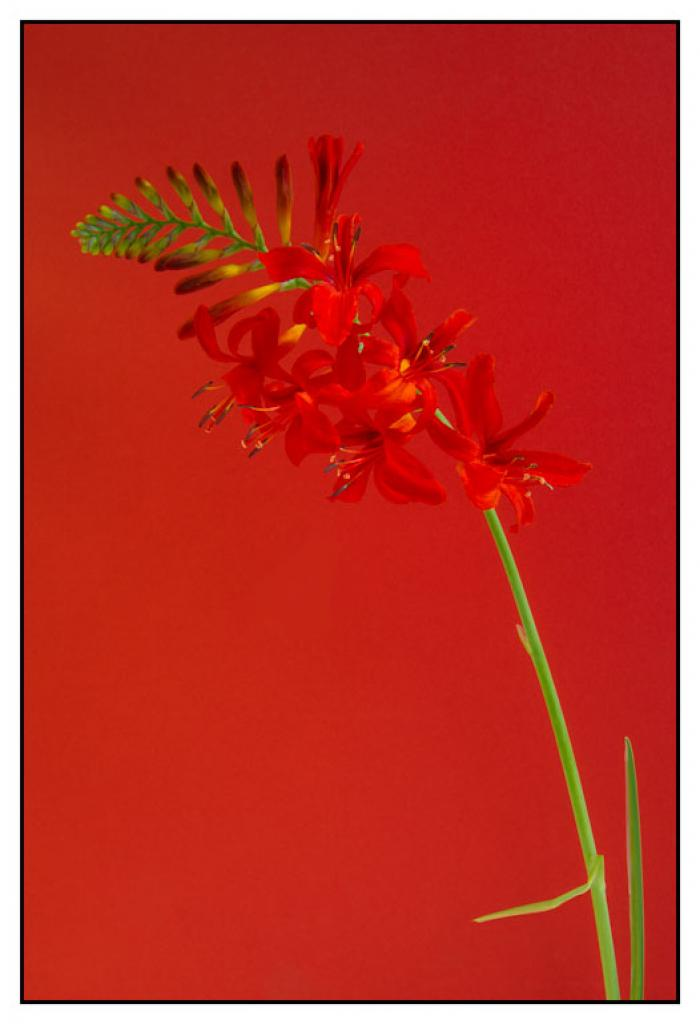 Crocosmia 'Lucifer' on a red background.