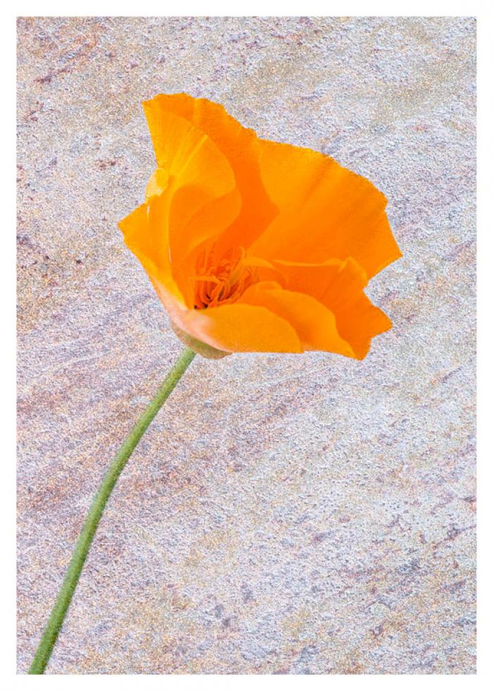 Orange Poppy on a textured background