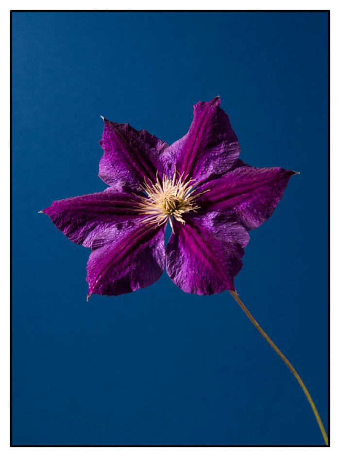 Purple Clematis on a blue background