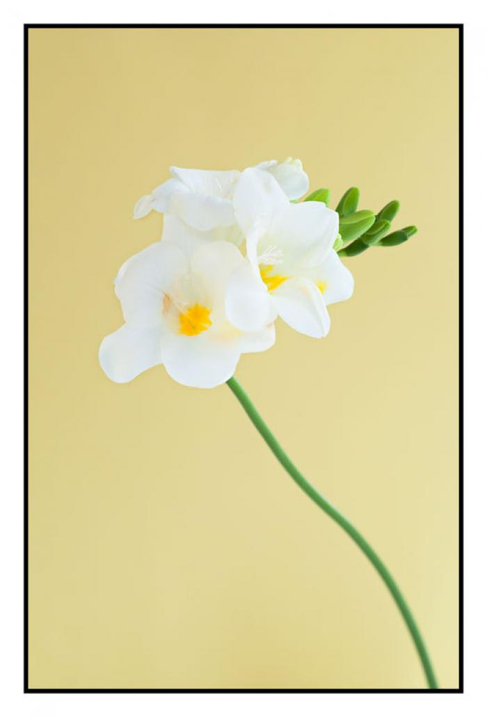 Freesia on a yellow background
