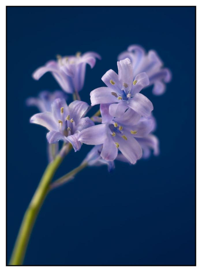 Delicate lilac Bluebells on a blue background