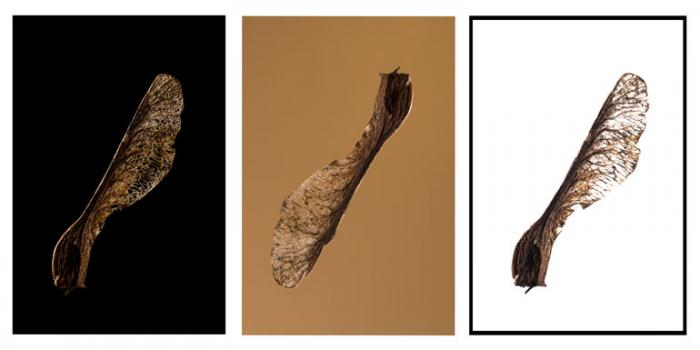 Sycamore Helicopter Seeds (Triptych)