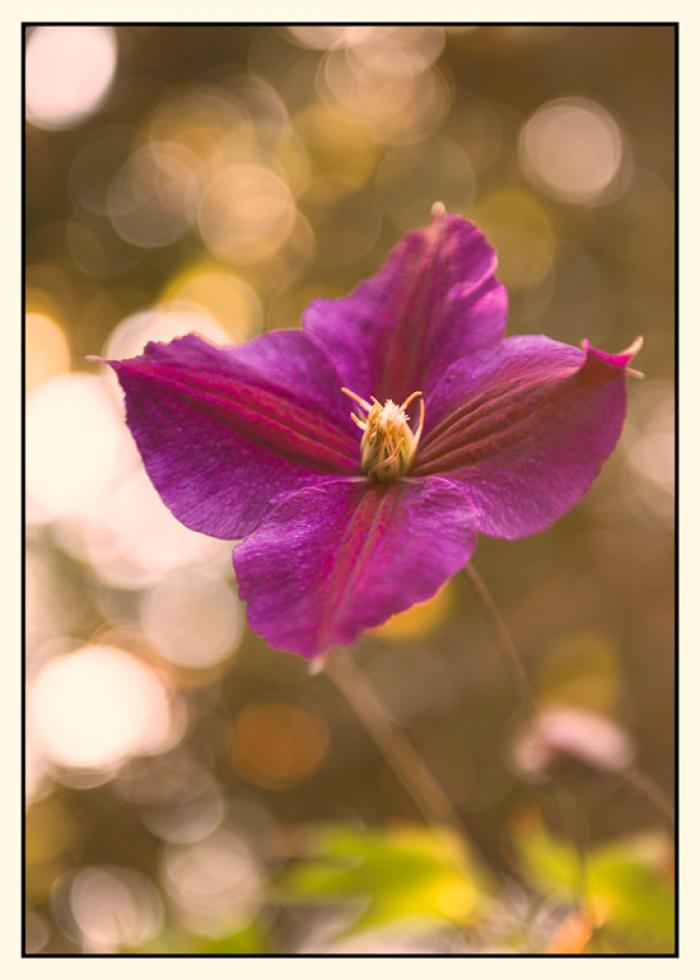 Purple Clematis and bokeh in the golden summer sun