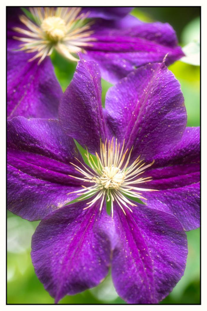 Purple Clematis, in the early summer light