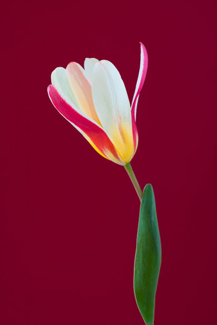 Miniature Tulip on a burgundy background