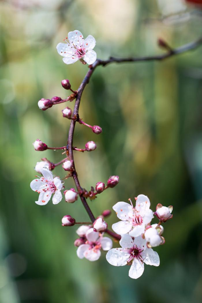 Dew covered Almond Blossom