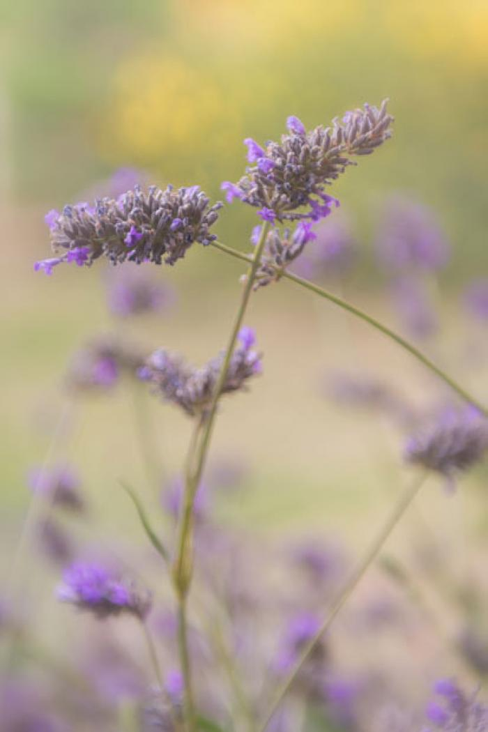 Lavender entwined