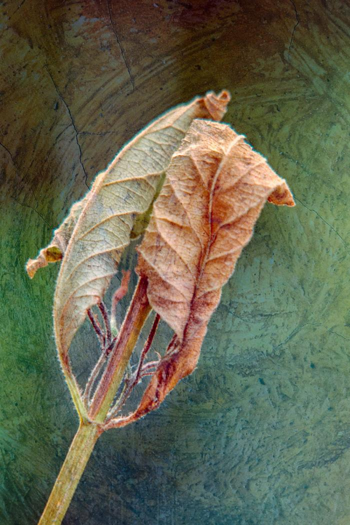 Curled up and drying Leaf on a textured background