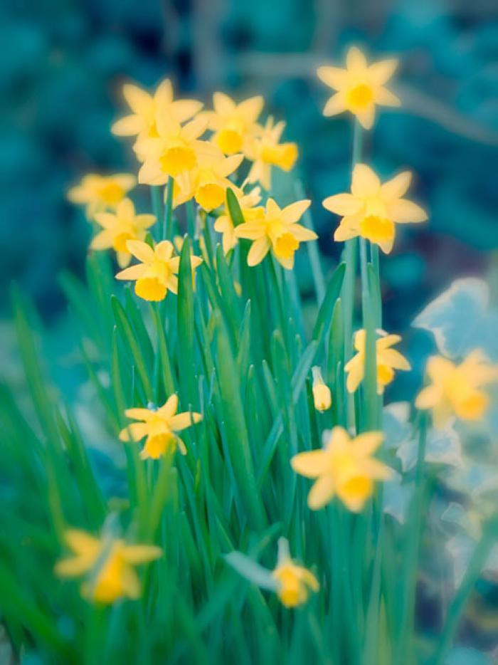 A Cluster of Golden Miniature Daffodils