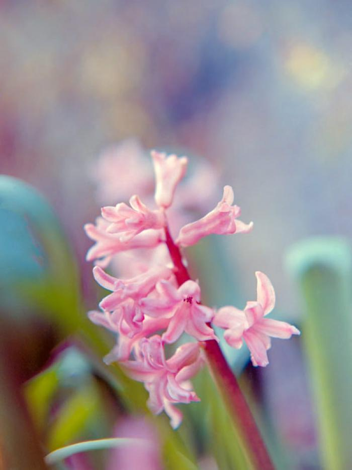 Painterly pink Hyacinth