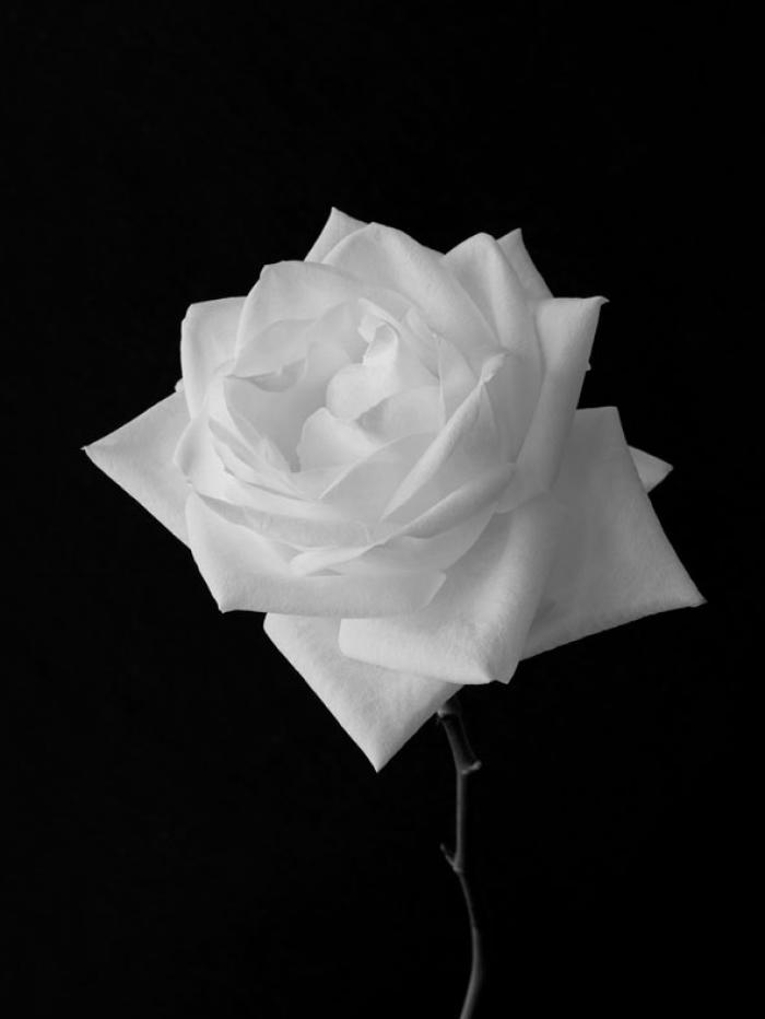 Open white Rose on a black background