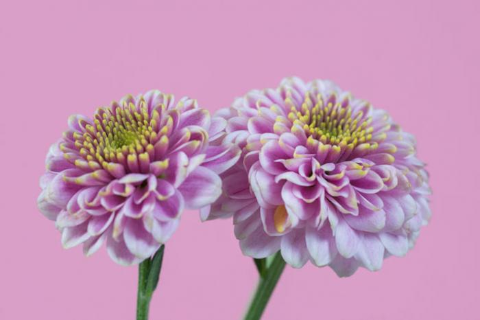 Mini pink Chrysanthemums on a Pink Background