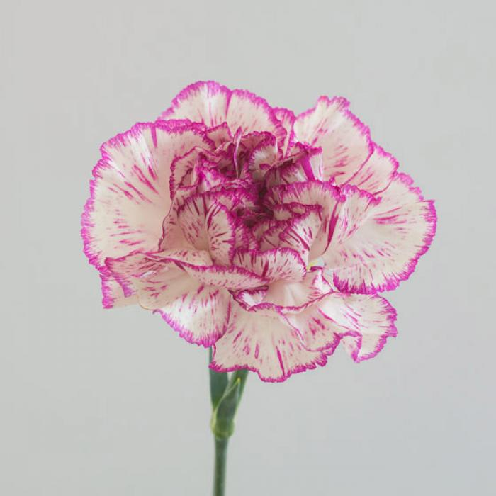 Purple and Cream Carnation on a light grey background