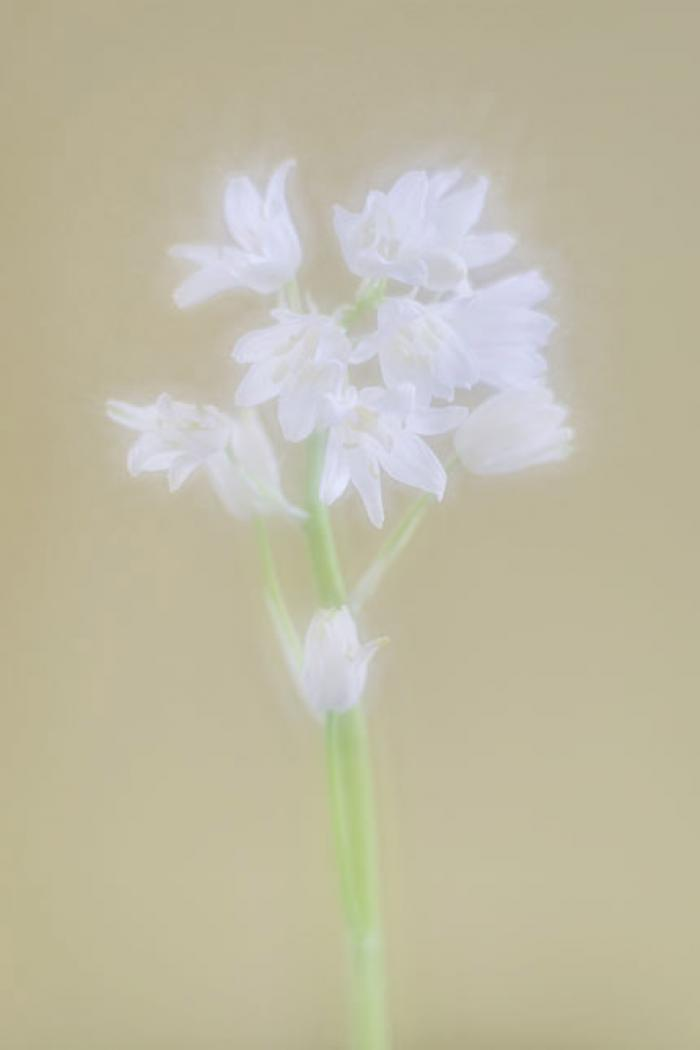 Soft and delicate White Bluebell Spray on a pale yellow background