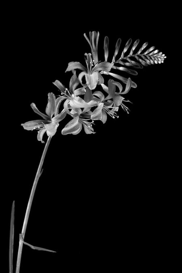 Crocosmia on a black background