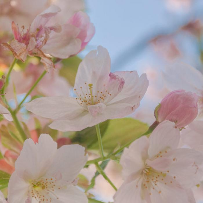 Pale pink spring blossoms