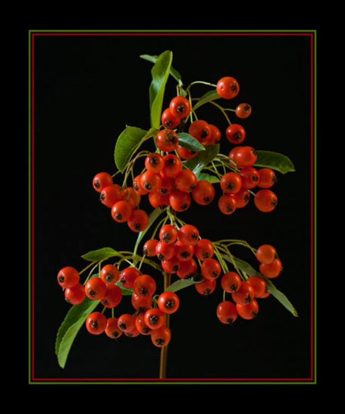 Orange Winter Berries on a black background